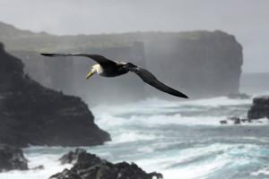 galapagos-albatros-ngvogel-345004
