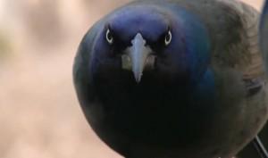 grackle common Quiscalus quiscula black bird purple blue head rainbow yellow eye feeder head shot close-up photo